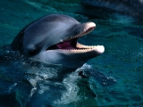 Introduction, Bottlenose Dolphin