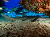 Nurse Shark, Virgin Islands