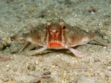 Red-Lipped Batfish, Cocos Island, Costa Rica