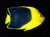 Rock Beauty Angelfish, Indo-Pacific