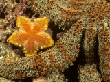 Southern Biscuit Star, Edithburgh Jetty, South Australia
