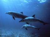Spotted Dolphins, Bahamas