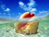 Sunken Treasure, Conch Shell, Bahamas