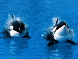 Treading Water, Killer Whale