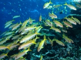 Yellow Goatfish, Great Barrier Reef, Australia