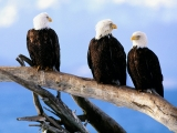 Wild and Free, Bald Eagles