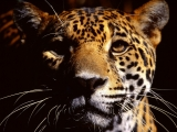 Wild Eyes, Jaguar