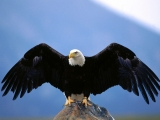 Wingspan, Bald Eagle