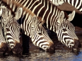 Zebras at the Water Hole, Kenya